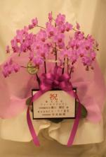 開店祝い 胡蝶蘭 ピンク